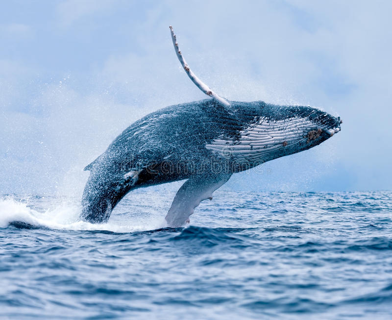Violation de baleine de bosse photographie stock libre de droits