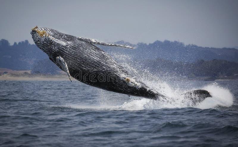 Violation de baleine de bosse images libres de droits