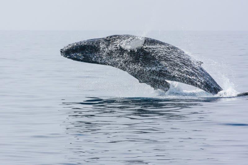 Violation de la baleine arrière de bosse photographie stock