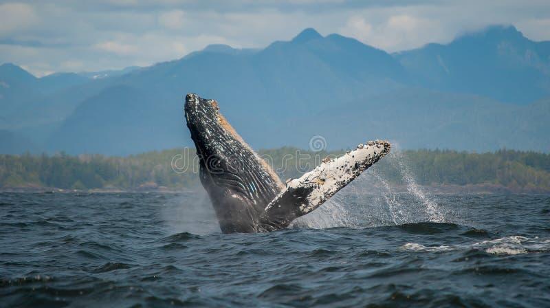 Violation de la baleine de bosse, île de Vancouver, Canada photographie stock