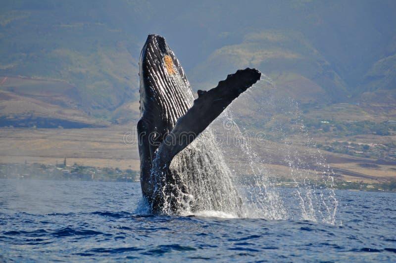 Violation de la baleine de bosse photo stock
