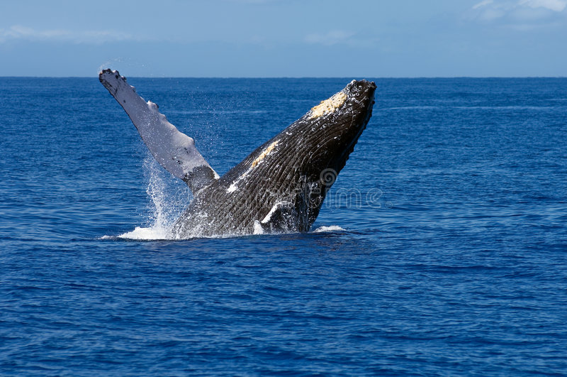 Violation de la baleine de bosse