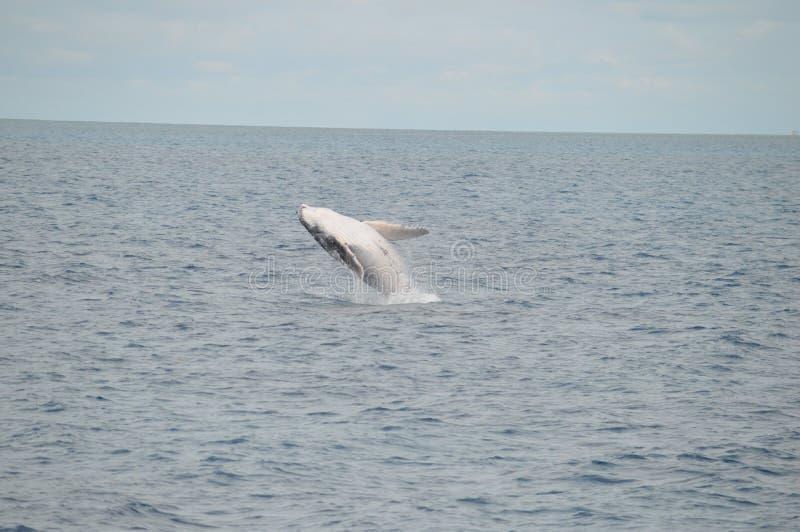 Violation du veau de baleine photo libre de droits