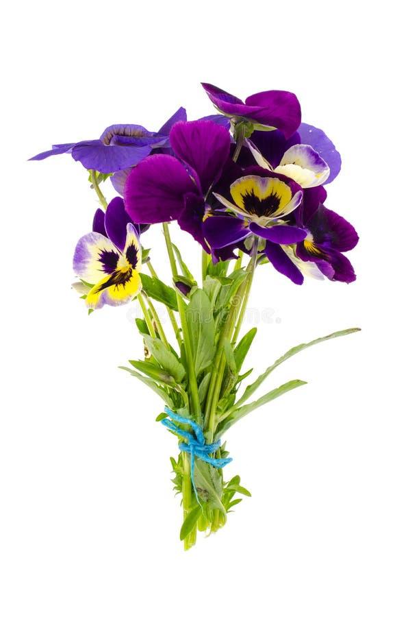 Violatrikolore var hortensis auf weißem Hintergrund lizenzfreie stockfotografie