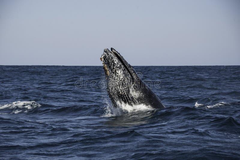 Violazione del humpback immagini stock