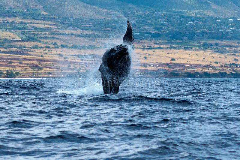 Violazione della balena di Humpback fotografie stock libere da diritti