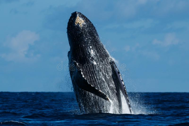 Violazione della balena di Humpback immagini stock libere da diritti