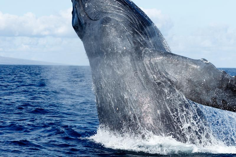Violazione della balena di Humpback fotografia stock