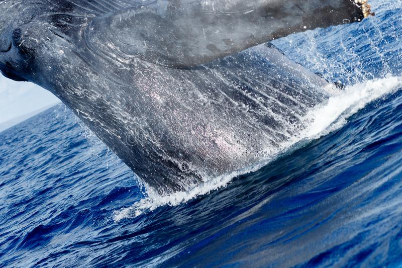 Violazione della balena di Humpback fotografie stock