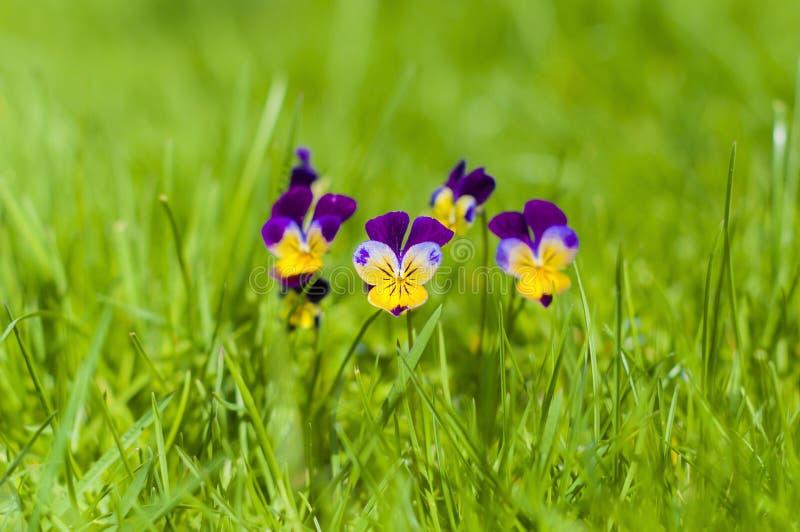 Viole del pensiero gialle e porpora della molla su erba verde fotografia stock