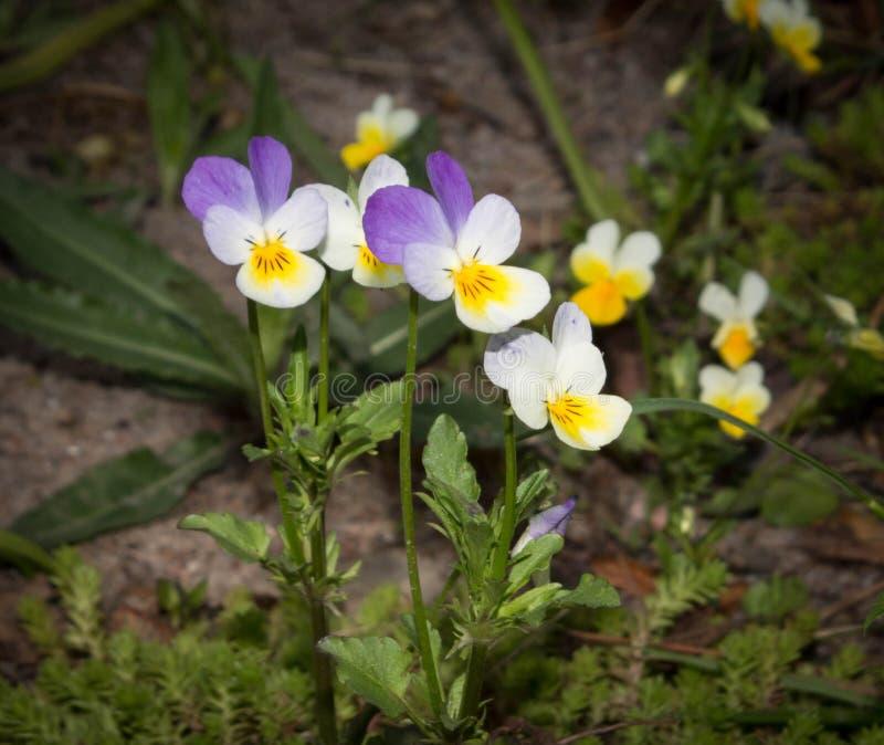 viole del pensiero Giallo-porpora dei fiori immagini stock