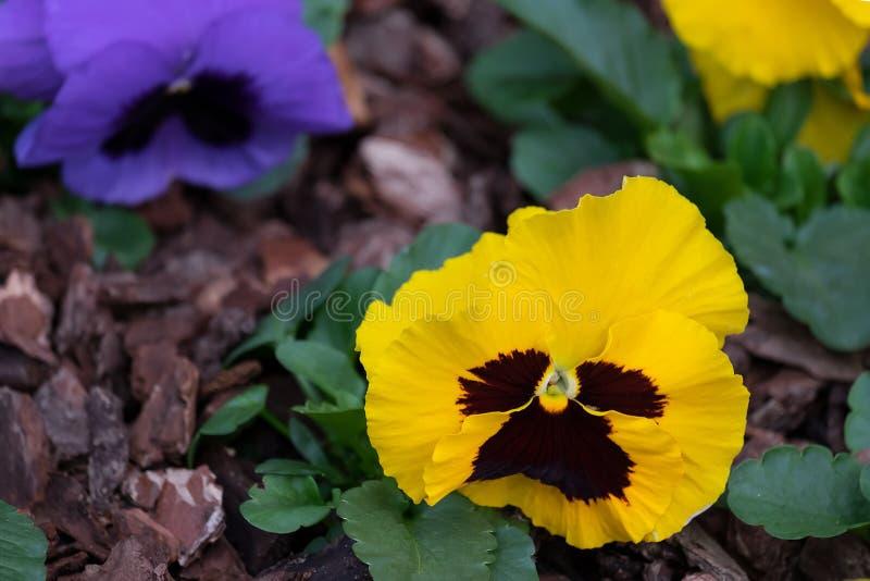 Viole del pensiero primavera-estate gialle luminose dei fiori di Pansy Flowers nel giardino fotografia stock libera da diritti