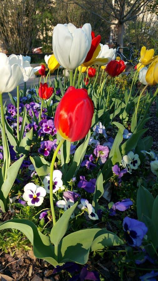 Viole del pensiero rosse e bianche della molla dei tulipani fotografia stock