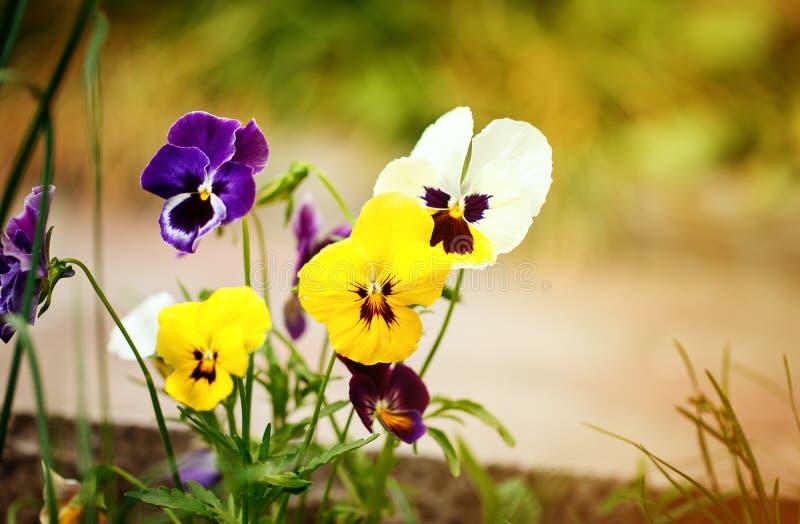 Viole del pensiero variopinte di fioritura nel giardino come fondo floreale nel giorno soleggiato Fuoco selettivo su un fiore immagine stock libera da diritti