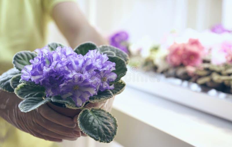 Viole del trapianto delle mani del fiorista belle Crescita viola come svilupparsi viola Fiori del trapianto in vasi fotografia stock libera da diritti