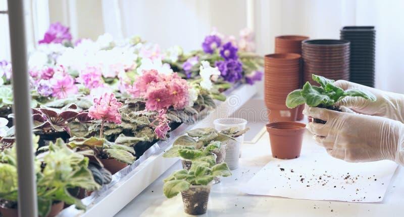 Viole del trapianto del fiorista piccole Crescita viola come svilupparsi viola immagine stock libera da diritti