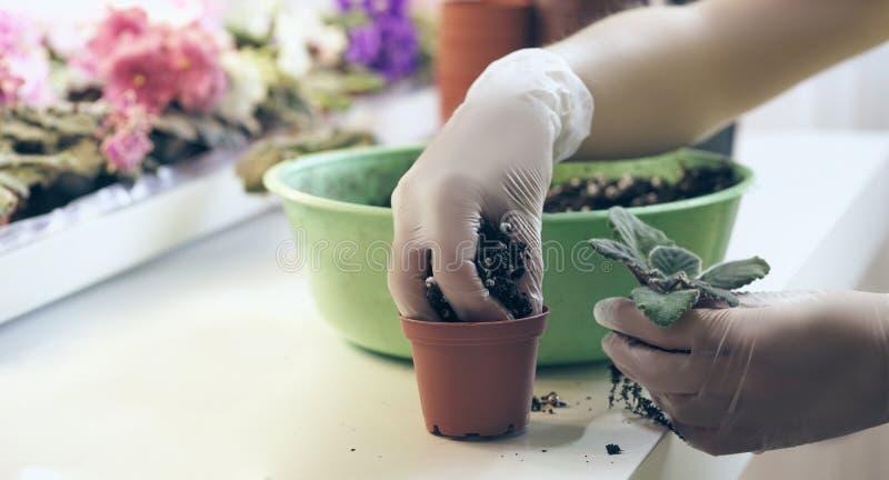 Viole del trapianto del fiorista piccole Crescita viola come svilupparsi viola fotografia stock