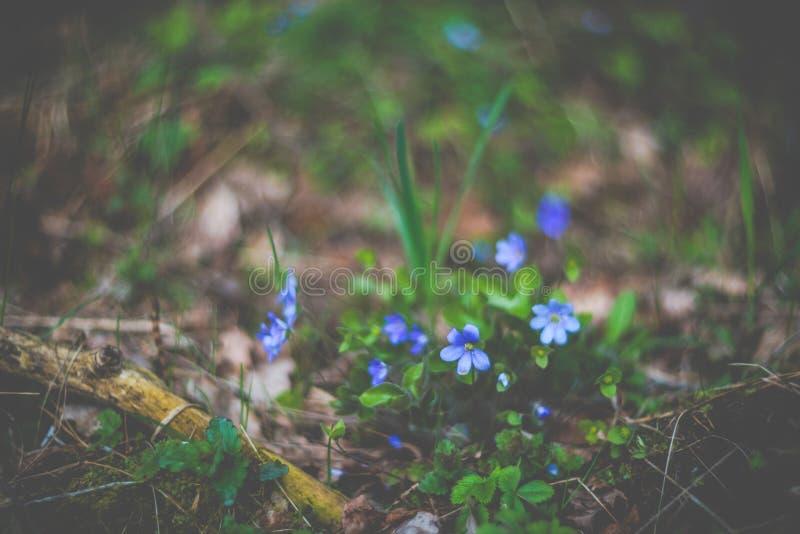Viole dell'odore della primavera in fioritura, natura di stagione della foresta immagini stock libere da diritti
