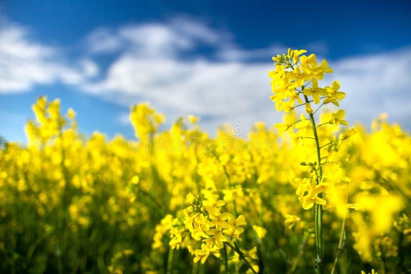 Viole o campo Flores de floresc?ncia do canola perto acima Colza no campo no verão Colza amarela no fundo do céu azul Floresc?nci imagem de stock royalty free