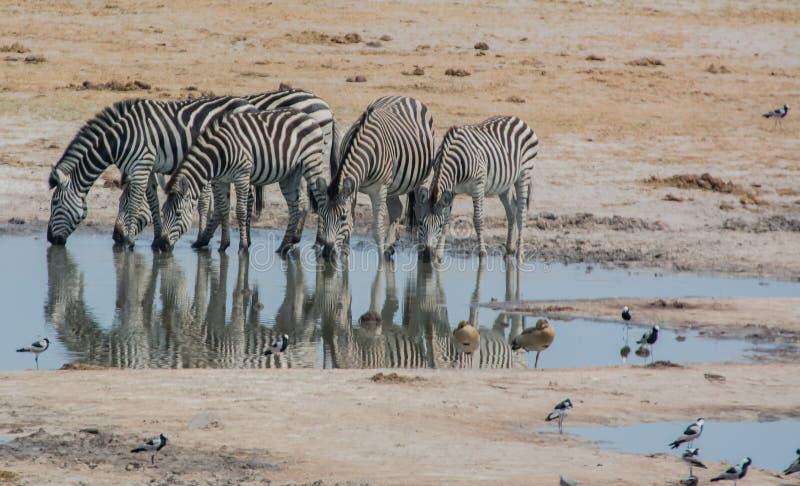 Viole o campo no céu azul com humor branco do cloudsAutumn em uma floresta com os sunshineZebras no savana em Zimbabwe, África do imagem de stock
