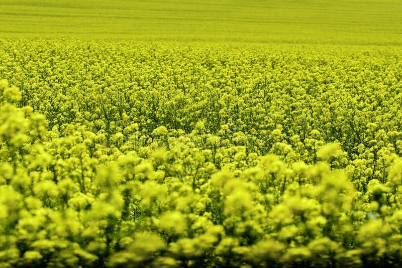 Download Campo Da Violação Do Amarelo Intenso Imagem de Stock - Imagem de italiano, enorme: 29829289