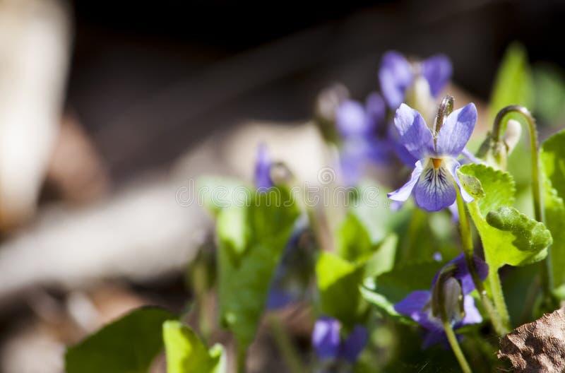 Viole variopinte nella foresta di primavera immagine stock
