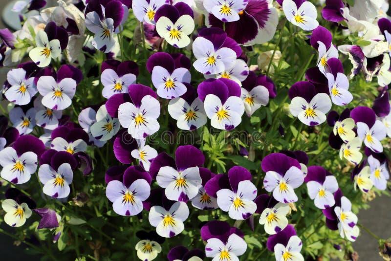 Violen twee kleurenbloemen royalty-vrije stock afbeeldingen