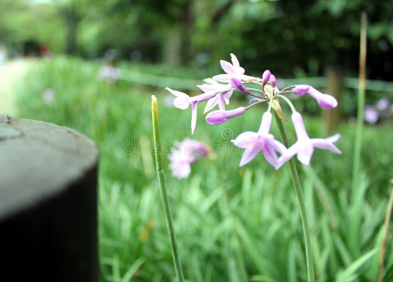 violet photographie stock