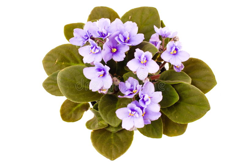Download Violet stock image. Image of nature, beautiful, purple - 16099787