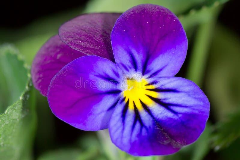Violet photographie stock libre de droits