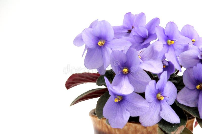 violet zdjęcie royalty free