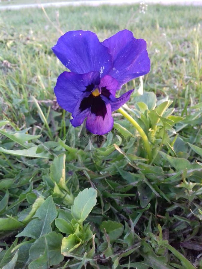violet image libre de droits