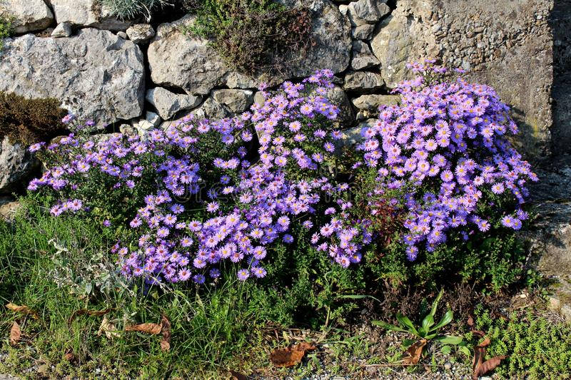 Violet Aster flowers densely planted like small bush in front of traditional stone wall surrounded with grass and other plants. On warm sunny day royalty free stock photo