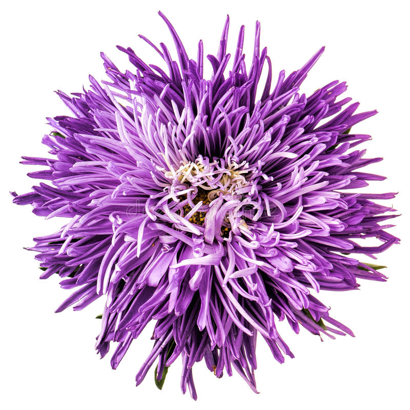 Flower Astra Violet Color Isolated. Stock Photo - Image of