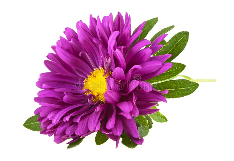 Violet aster flower stock image. Image of purple, beauty