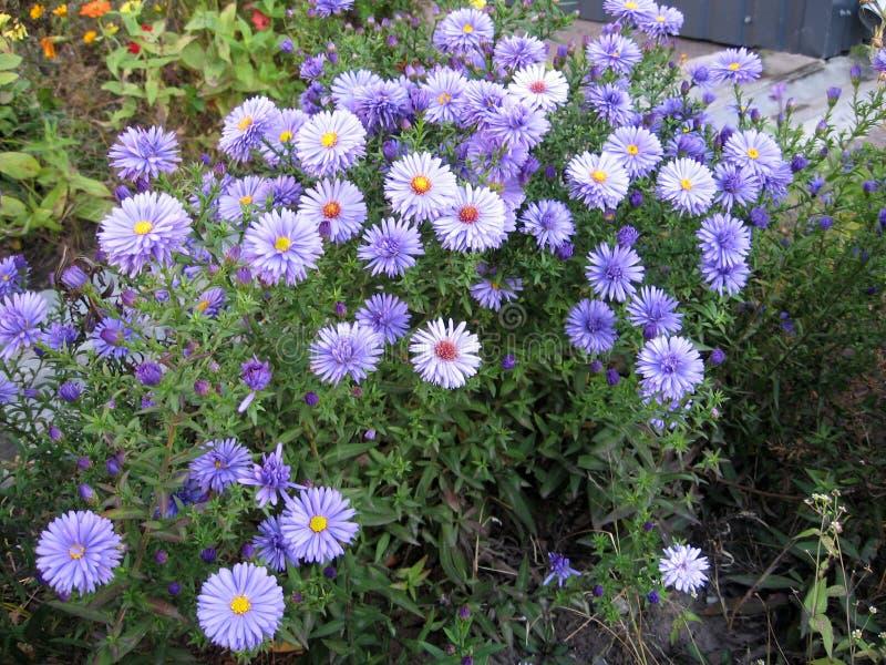 Violet Asters que florece en el jardín imagenes de archivo