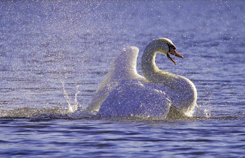 Violet Bathing Swan. Ultra violet: A Mute Swan flapping its wings as it bathes on a violet lake