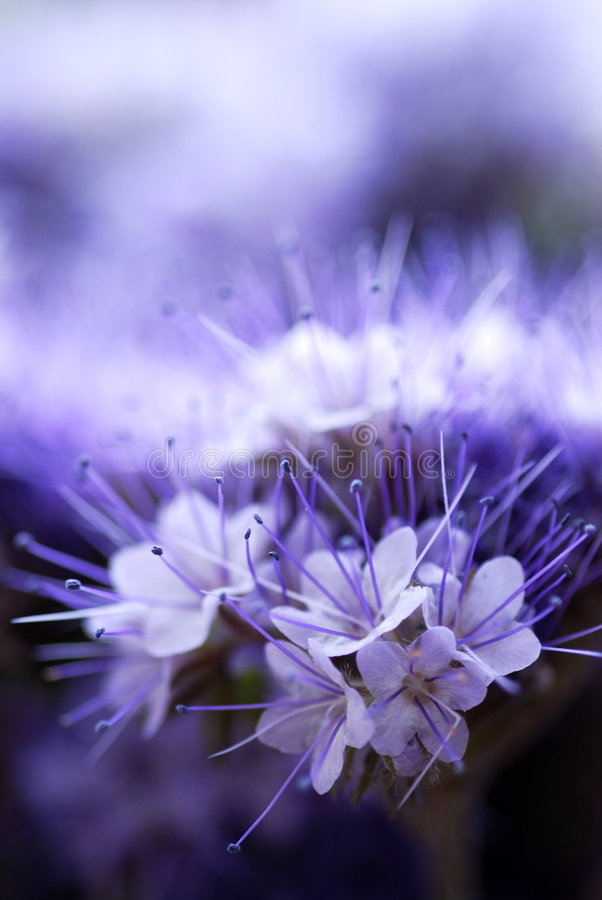 Violet beauty royalty free stock image