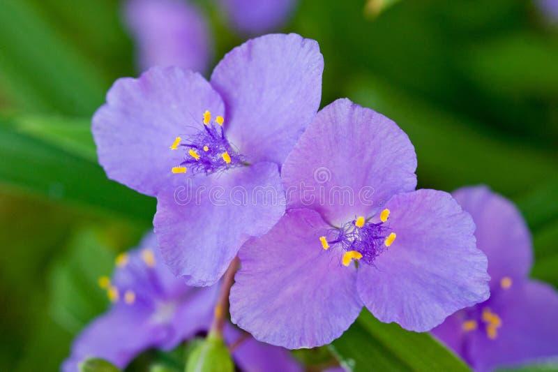 Violet bloem helder en vers geschoten close-up royalty-vrije stock afbeelding