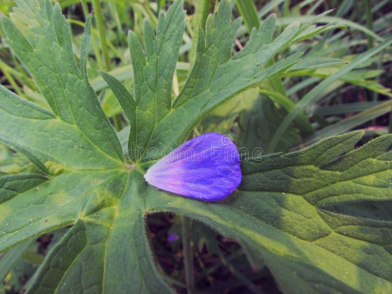 Violet bloemblaadje in de vorm van een hart van weidegeranium tegen de achtergrond van groene grote bladeren met aders stock afbeeldingen