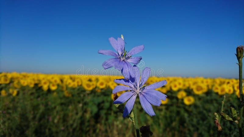 Violet bloemen en zonnebloemgebied royalty-vrije stock fotografie