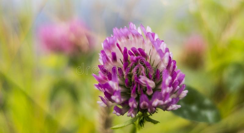 Violet blooming meadow flower of clover plant Trifolium pratense close up macro royalty free stock images