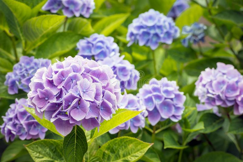 Violet and blue flowering Hydrangea macrophylla plant from close royalty free stock images