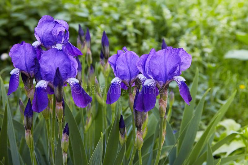 Violet-blue flowers of bearded iris Iris germanica. On a green background of meadow grasses stock image