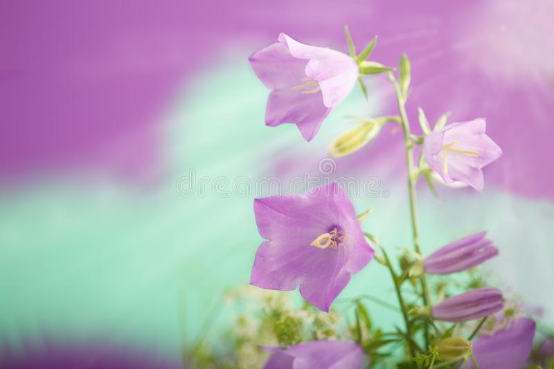 Violet-blue flowers Campanula persicifolia peach-leaved bellflower. On violet-green background with sun rays royalty free stock image