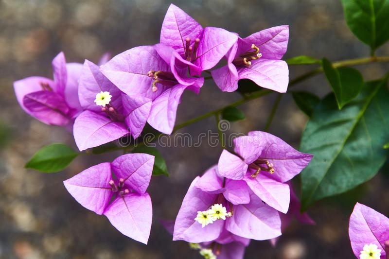 Violet bougainvillea spectabilis flower. Exotic rare colorful tropical flowers. Beautiful and bright flowers of Sri Lanka. royalty free stock image