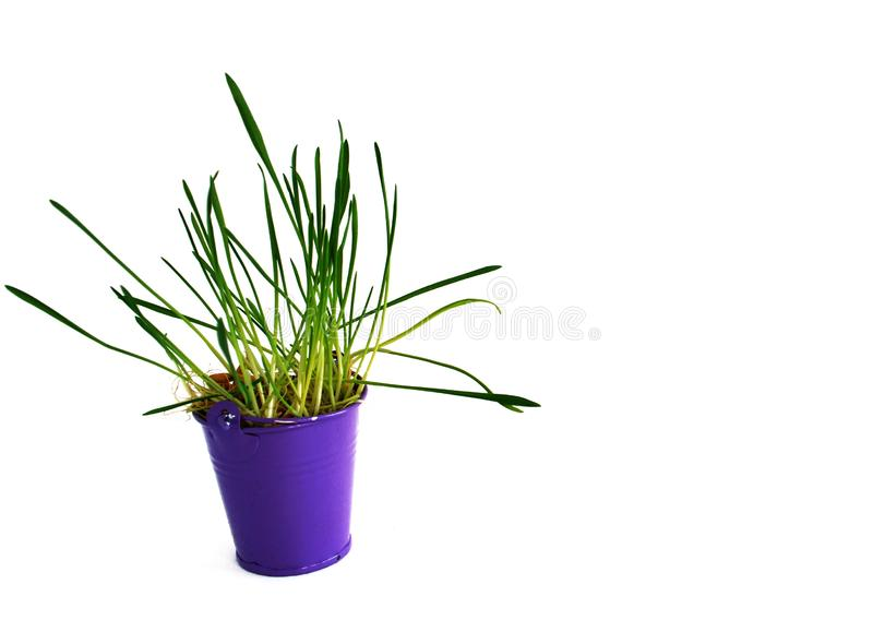 Violet bucket with grass inside on the white background. Miniature Violet bucket with grass inside on the white background stock images