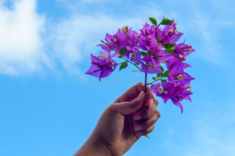 Bugenvil Under Sky. Violet Bugenvil Hold By Brown Asian Girl Hand Under The Blue Sky royalty free stock images