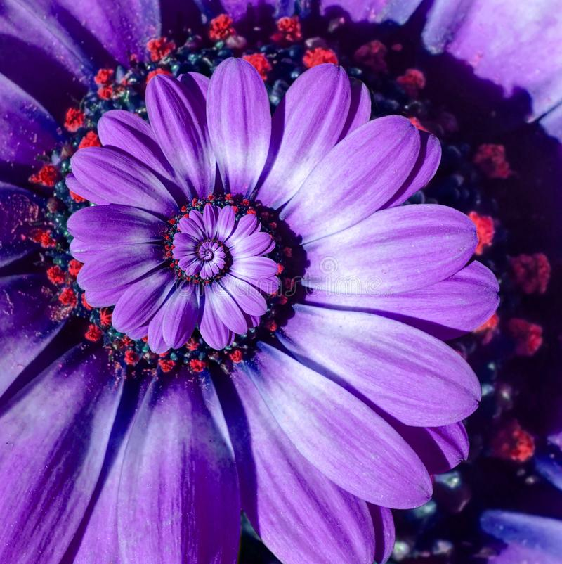 Violet camomile daisy flower spiral abstract fractal effect pattern background. Purple flower spiral abstract pattern fractal stock photos