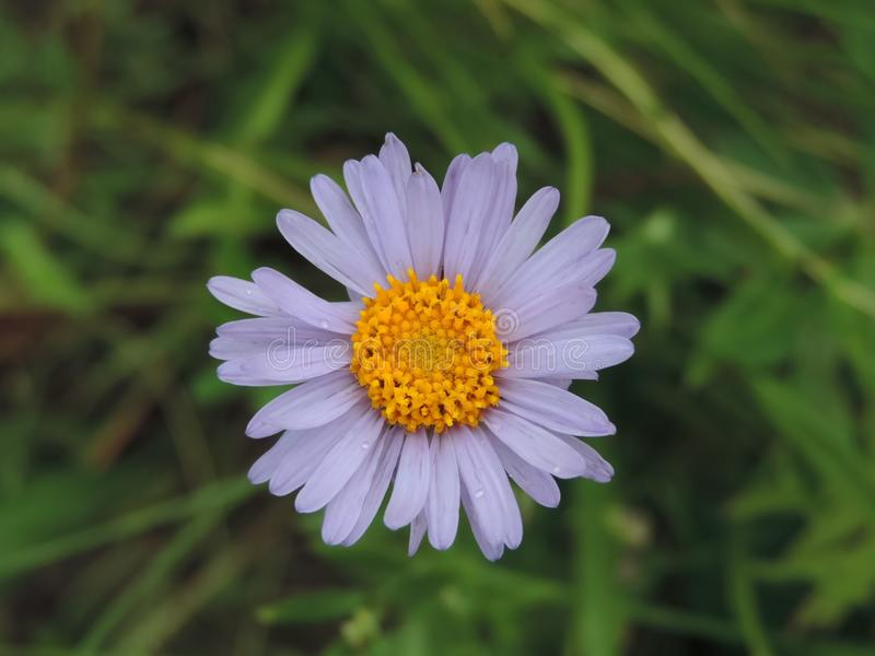 Violet camomile in a grass. royalty free stock image